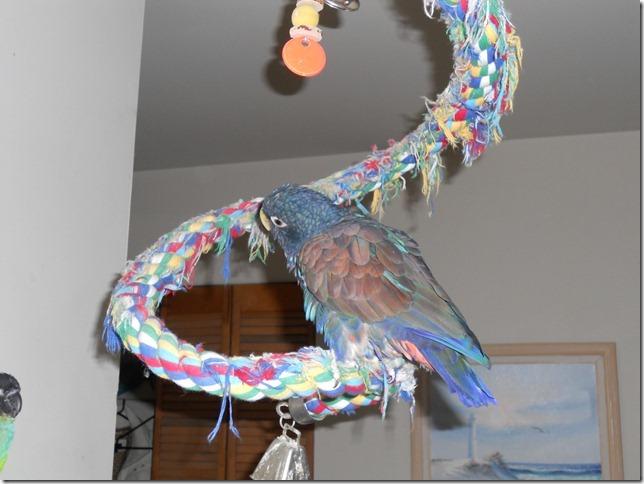 Merlin on the bouncy perch