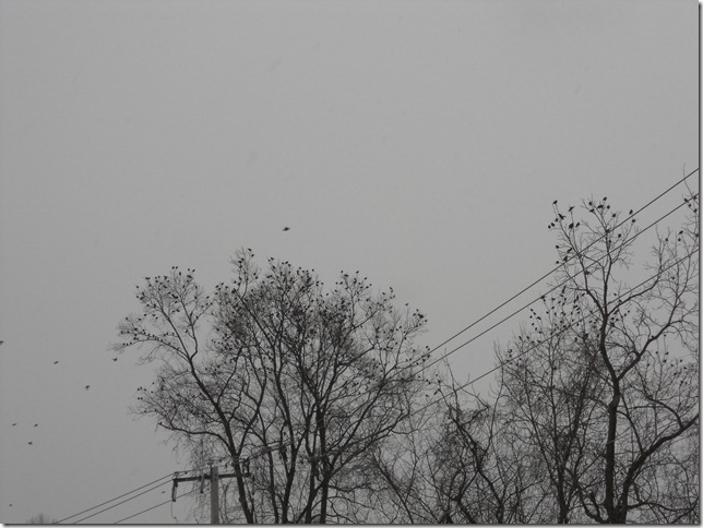 blackbirds swarming