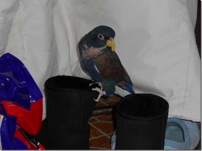 Merlin planning on nesting in my boots