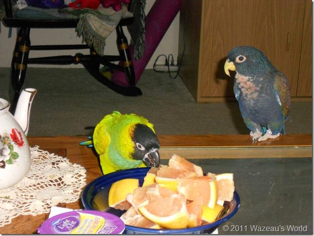 Merlin tsks, tsks while Bandit eats