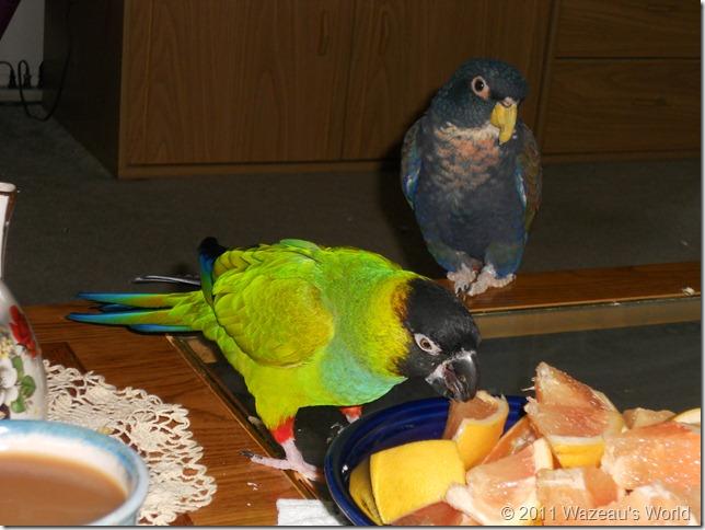 Bandit stealing some grapefruit