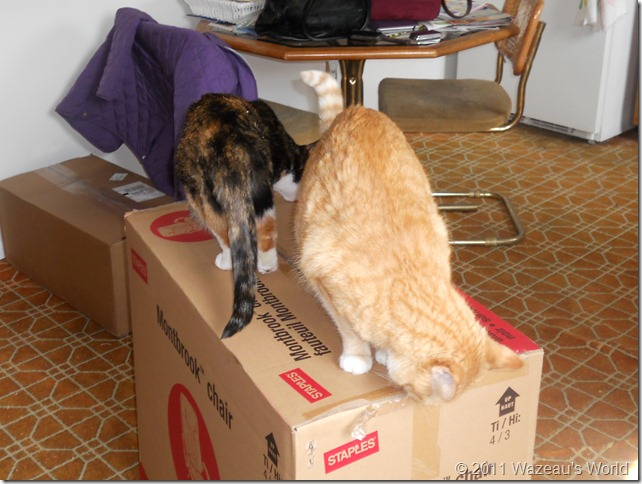 Nekoka and Sassafrass checking out the chair box