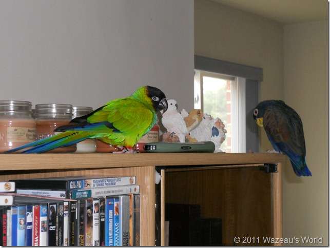 Bandit showing off his gorgeous green feathers